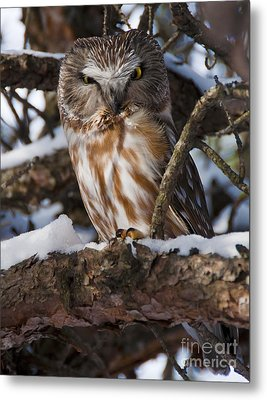 Northern Saw-whet Owl.. Metal Print by Nina Stavlund