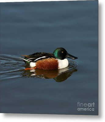 Metal Print featuring the photograph Northern Shoveler by Bob and Jan Shriner