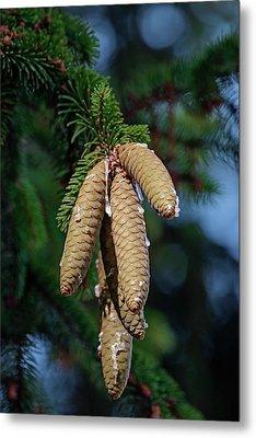 Norway Spruce (picea Abies) Metal Print by Dr. Nick Kurzenko
