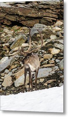 Norway, Troms Male Reindeer (rangifer Metal Print by Fredrik Norrsell