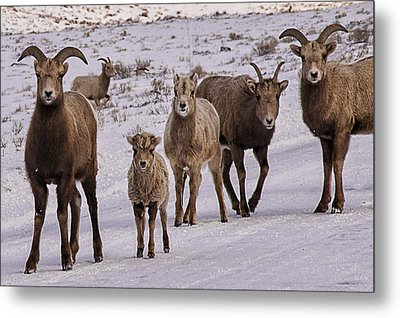 Metal Print featuring the photograph Not Too Sheepish by Priscilla Burgers