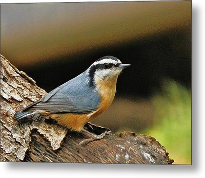 Metal Print featuring the photograph Nuthatch Pose by VLee Watson