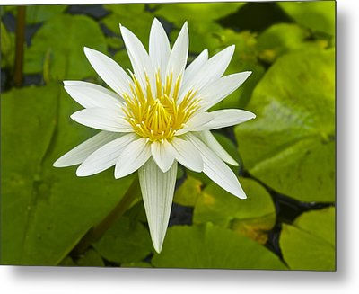 Nymphaea Water Lily Metal Print by Venetia Featherstone-Witty