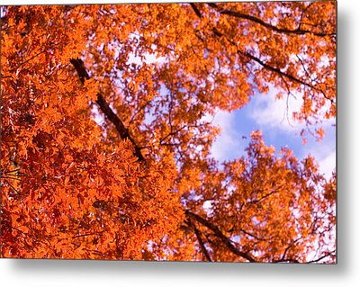 Metal Print featuring the photograph Oak In Evening Sun by Denise Beverly