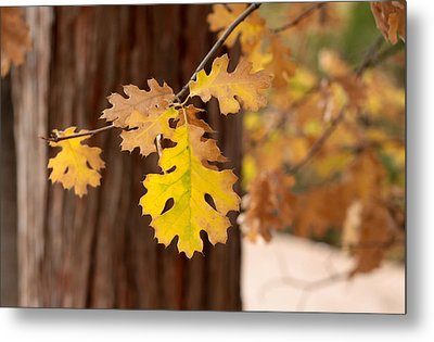Oak Leaf Metal Print by Denice Breaux