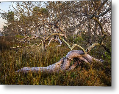 Oak Trees In The Marsh Metal Print by Debra and Dave Vanderlaan
