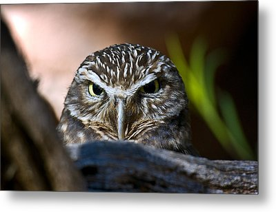 Observant Owl Metal Print by Dave Dilli
