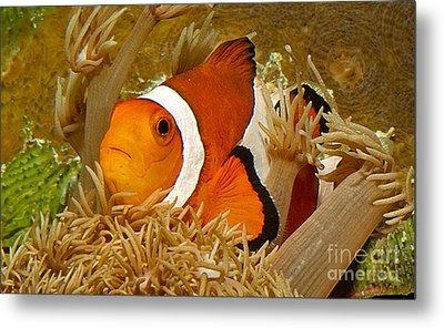 Ocellaris Clown Fish No 1 Metal Print by Jerry Fornarotto