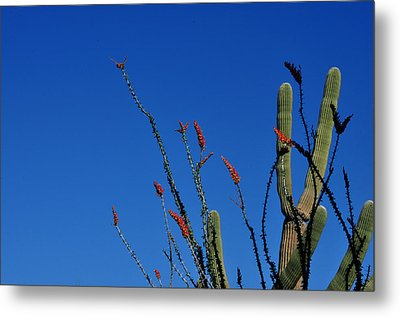 Ocotillo And Saguaro Metal Print by Diane Lent