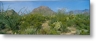 Ocotillo Plants In A Park, Big Bend Metal Print by Panoramic Images