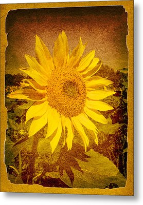 Of Sunflowers Past Metal Print by Bob Orsillo