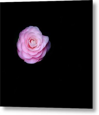 Oh Camellia Metal Print by Rebecca Cozart