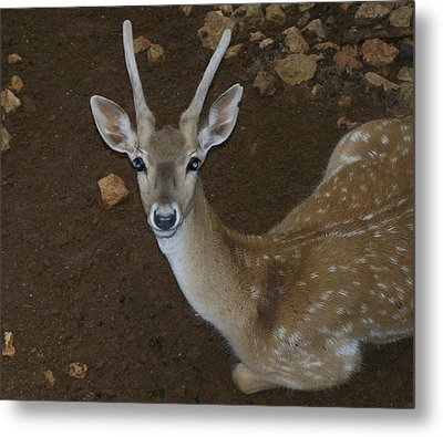 Oh Deer Metal Print by Noreen HaCohen
