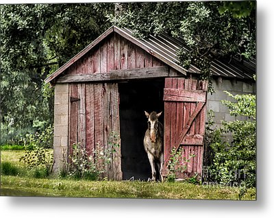 Old Gray Mare Metal Print by Debbie Green
