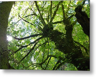 Metal Print featuring the photograph Old Growth Tree In Forest by Shane Kelly