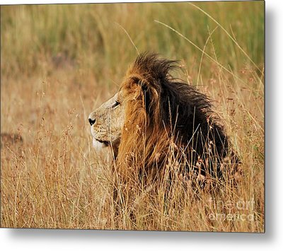 Old Lion With A Black Mane Metal Print by Alan Clifford