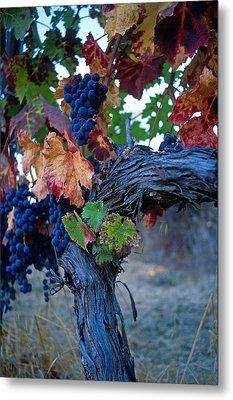 Old Vine Metal Print by Kathy Yates