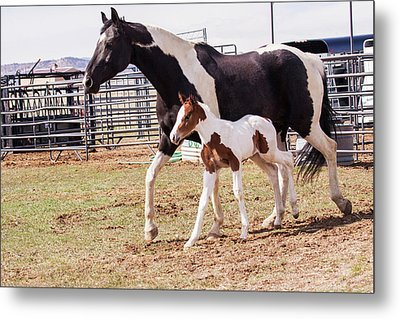 Oldenburg Mare And Foal Metal Print by Piperanne Worcester
