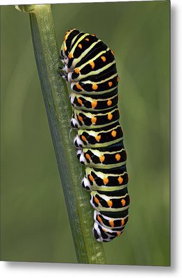 Oldworld Swallowtail Butterfly Metal Print by Frans Hodzelmans