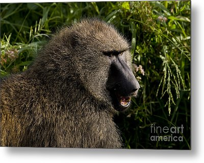 Olive Baboon   #0685 Metal Print by J L Woody Wooden