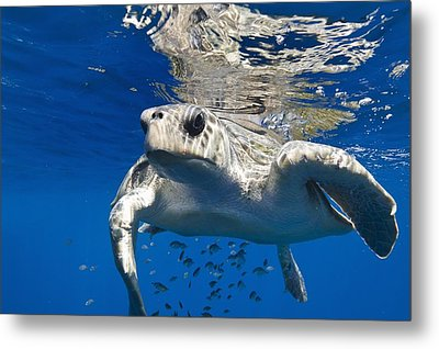 Olive Ridley Turtle Metal Print by Christopher Swann