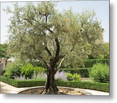 Olive Tree Metal Print by Pema Hou