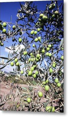 Olive Tree Metal Print by Photostock-israel