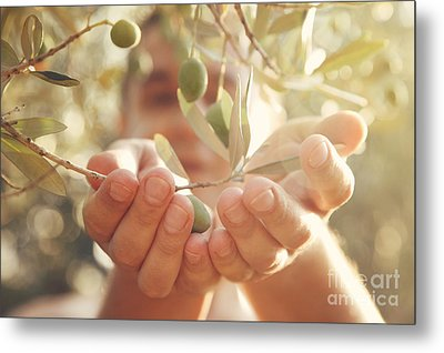 Olives Harvest Metal Print by Mythja  Photography