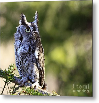 On Alert Majestic Eastern Screech Owl  Metal Print by Inspired Nature Photography Fine Art Photography