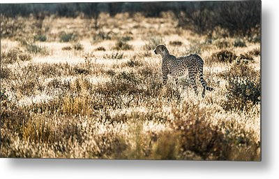 On The Prowl - Cheetah Photograph Metal Print by Duane Miller