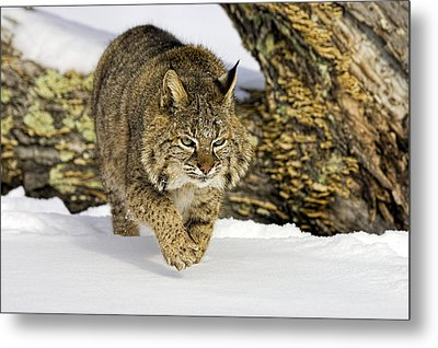 On The Prowl Metal Print by Jack Milchanowski