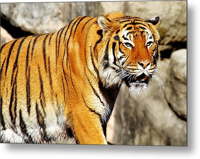 On The Prowl Metal Print by Jason Politte