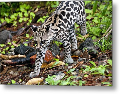 Metal Print featuring the photograph Oncilla Cat by Dennis Cox WorldViews
