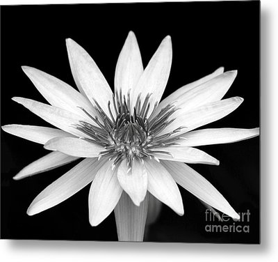 One Black And White Water Lily Metal Print by Sabrina L Ryan