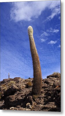 Metal Print featuring the photograph One Enormous Cactus by Lana Enderle