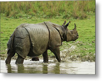 One-horned Rhinoceros, Coming Metal Print