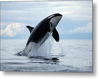 one killer whale or orca jumping out of the ocean in the Pacific Metal Print by Brandon Cole
