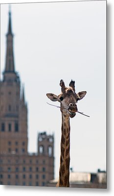 One More Bite To Outgrow The Tallest 4 Metal Print by Alexander Senin