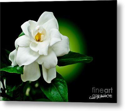 One Sensual White Flower Metal Print by Carol F Austin