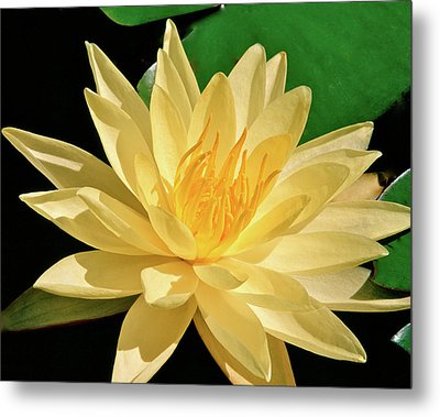 One Water Lily  Metal Print by Ed  Riche