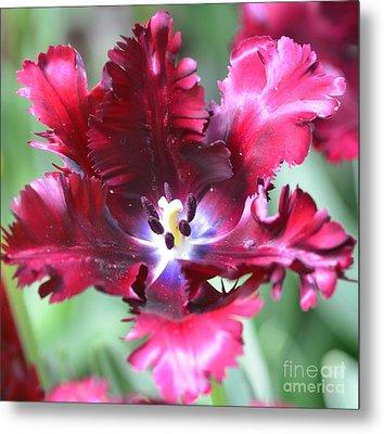 Opened Tulip Metal Print by Kathleen Struckle