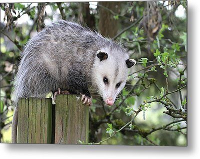 Opossum 2 Metal Print by Angie Vogel