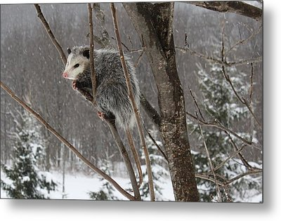 Opossum In A Tree Metal Print