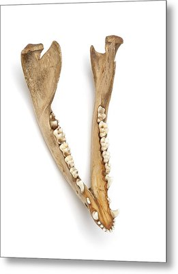 Opossum Jawbone Metal Print by Ucl, Grant Museum Of Zoology
