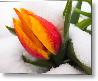 Orange And Red Tulip In The Snow Metal Print by Matthias Hauser