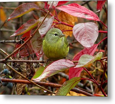 Orange Crowned Warbler Metal Print by Kimberly Mackowski