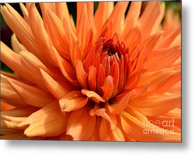 Orange Dahlia Metal Print by Scott Lyons