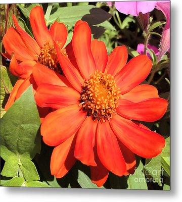 Orange Daisy In Summer Metal Print by Luther Fine Art