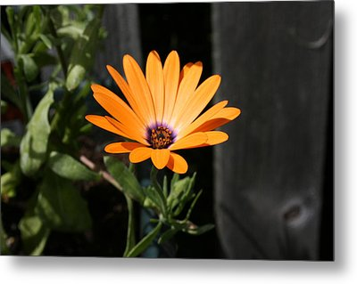 Orange Flower Metal Print by Paula Brown