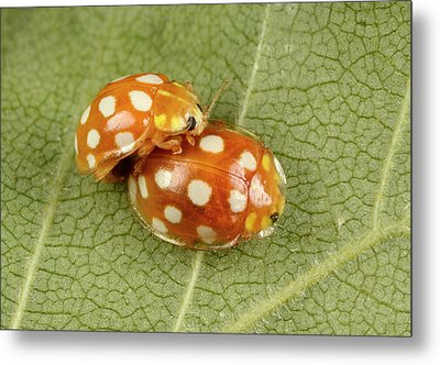 Orange Ladybirds Mating Metal Print